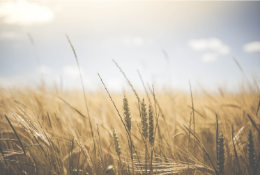 Wheat for Pathways announcement