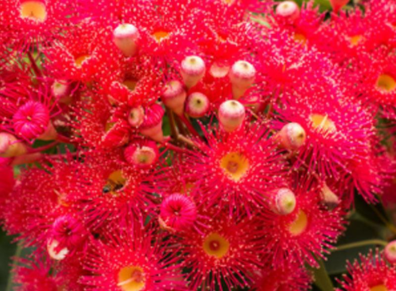 Ficifolia